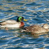 Mallard. Adult male and female. Lake Wanaka, July 2016. Image © Alan Tennyson by Alan Tennyson