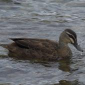 Grey duck. Adult. Lake Rotoiti, Nelson Lakes, March 2014. Image © Amber Calman by Amber Calman