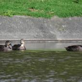 Grey duck. Three adults. Ngunguru wastewater treatment plant, Northland, September 2017. Image © Scott Brooks (ourspot) by Scott Brooks