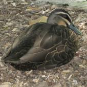Grey duck. Adult at rest. Sydney, New South Wales, Australia, December 2010. Image © Sarah Jamieson by Sarah Jamieson