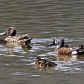 Australasian shoveler. Pair with 7 ducklings. Nelson sewage ponds, October 2015. Image © Rebecca Bowater by Rebecca Bowater FPSNZ AFIAP www.floraandfauna.co.nz