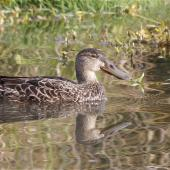 Australasian shoveler. Adult female swimming, reflected. Linwood Drain, Christchurch, June 2014. Image © Steve Attwood by Steve Attwood  http://www.flickr.com/photos/stevex2/