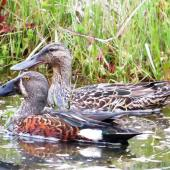 Australasian shoveler. Pair, with male in front. Tokaanu, November 2013. Image © Koos Baars by Koos Baars