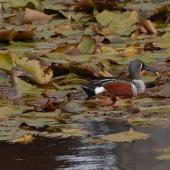 Australasian shoveler. Pair. North Shore Auckland, July 2007. Image © Peter Reese by Peter Reese