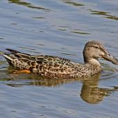 Australasian shoveler. Adult female. Te Awanga Lagoon, October 2011. Image © Dick Porter by Dick Porter