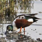Northern shoveler. Adult male in breeding plumage feeding. San Francisco estuary,  California,  USA, November 2014. Image © Rebecca Bowater by Rebecca Bowater FPSNZ AFIAP www.floraandfauna.co.nz