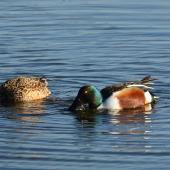 Northern shoveler. Breeding pair swimming and feeding. Parc du Marquenterre, France, March 2016. Image © Cyril Vathelet by Cyril Vathelet