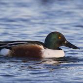 Northern shoveler. Adult male in breeding plumage. Pegasus Wetlands, June 2020. Image © Oscar Thomas by Oscar Thomas @OscarKokako