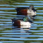 Northern shoveler. Adult male (front) with with a male Australasian shoveler. Bromley oxidation ponds, Christchurch, May 2019. Image © Janet Burton by Janet Burton