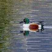 Northern shoveler. Male in breeding plumage. Nelson sewage ponds, June 2018. Image © Rebecca Bowater FPSNZ AFIAP by Rebecca Bowater www.floraandfauna.co.nz