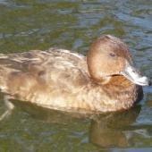 Australian white-eyed duck. Adult female. Centennial Park, June 2009. Image © Alan Tennyson by Alan Tennyson