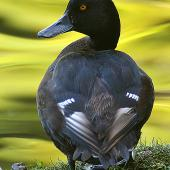 New Zealand scaup. Rear view of adult male showing plumage colouring. Wanganui, January 2006. Image © Ormond Torr by Ormond Torr