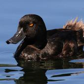 New Zealand scaup. Male showing tail feathers. Wanganui, December 2010. Image © Ormond Torr by Ormond Torr