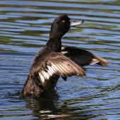 New Zealand scaup. Male showing wings. Wanganui, December 2011. Image © Ormond Torr by Ormond Torr