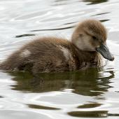 New Zealand scaup. Duckling. Wanganui, December 2011. Image © Ormond Torr by Ormond Torr