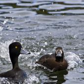 New Zealand scaup. Female in breeding plumage chasing off male. Lake Rotoiti, September 2012. Image © Raewyn Adams by Raewyn Adams