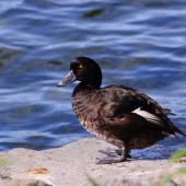 New Zealand scaup. Male standing showing feather colouring. Lake Taupo, January 2011. Image © Albert Aanensen by Albert Aanensen