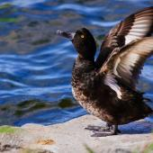 New Zealand scaup. Adult raising wings. Lake Taupo, January 2011. Image © Albert Aanensen by Albert Aanensen