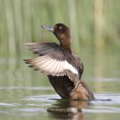 New Zealand scaup. Female flapping, showing wingbar. Lake Tarawera, December 2010. Image © Phil Battley by Phil Battley