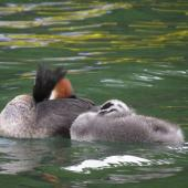 Australasian crested grebe. Resting family. Lake Wakatipu, January 2014. Image © Paul Peychers by Paul Peychers Wildlife images