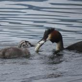 Australasian crested grebe. Adult presenting trout to greblet. Lake Te Anau, January 2014. Image © Paul Peychers by Paul Peychers Wildlife Images