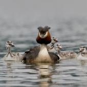 Australasian crested grebe. Male with four chicks, one riding on back. Te Anau, December 2013. Image © Glenda Rees by Glenda Rees http://www.flickr.com/photos/nzsamphotofanatic/
