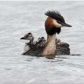 Australasian crested grebe. Male with chicks. Mackenzie Country, February 2011. Image © Glenda Rees by Glenda Rees http://www.flickr.com/photos/nzsamphotofanatic/