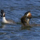 Australasian crested grebe. Breeding pair with one carrying nest material. Lake Lyndon, January 2013. Image © Steve Attwood by Steve Attwood http://stevex2.wordpress.com/