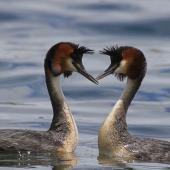 Australasian crested grebe. Pair displaying. Twizel, December 2012. Image © Glenda Rees by Glenda Rees http://www.flickr.com/photos/nzsamphotofanatic/