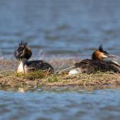 Australasian crested grebe. Female laying an egg. Kaiapoi, January 2018. Image © Kathy Reid by Kathy Reid www.kathyreidphotography.com
