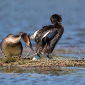 Australasian crested grebe. Male inspecting the first laid egg. Kaiapoi, January 2018. Image © Kathy Reid by Kathy Reid www.kathyreidphotography.com