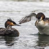 Australasian crested grebe. Female crested grebe carrying chicks. Lake Roto Kohatu, November 2016. Image © Kathy Reid by Kathy Reid www.kathyreidphotography.com
