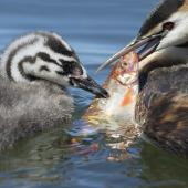 Australasian crested grebe. Female attempting to feed a rudd to 4-week old chick. Lake Roto Kohatu, December 2016. Image © Kathy Reid by Kathy Reid www.kathyreidphotography.com