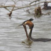 Australasian crested grebe. Adult carrying nesting material. Lake Forsyth, Canterbury, October 2012. Image © Steve Attwood by Steve Attwood http://stevex2.wordpress.com/