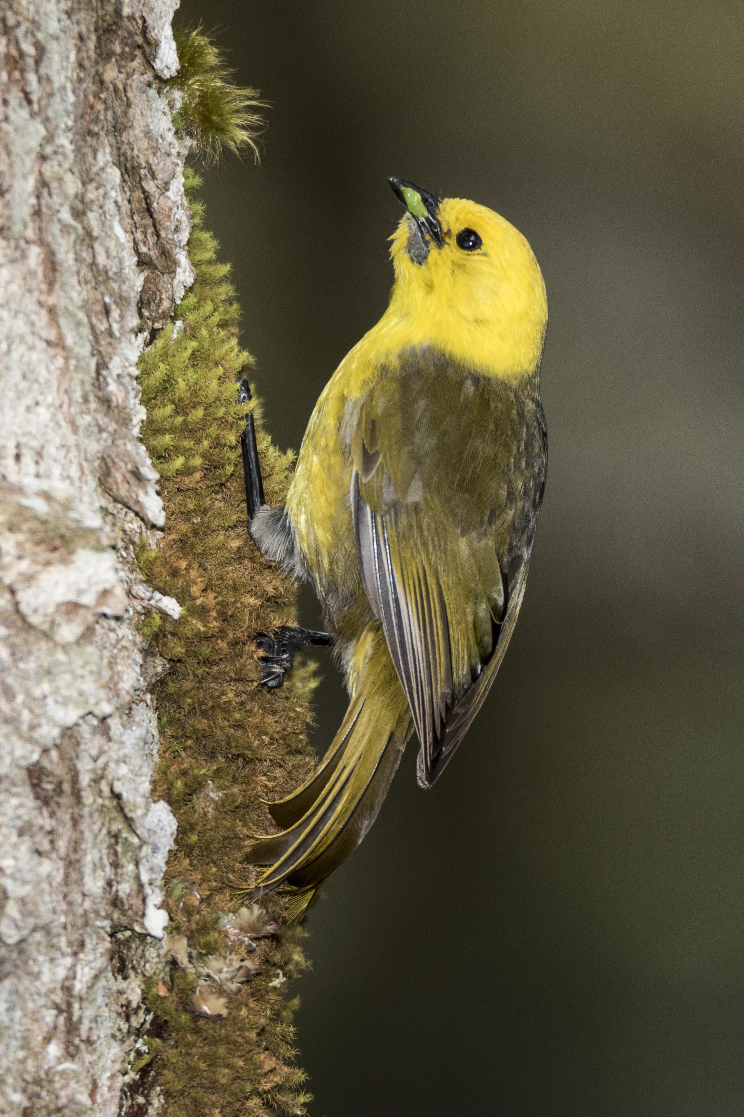 yellowhead new zealand birds online
