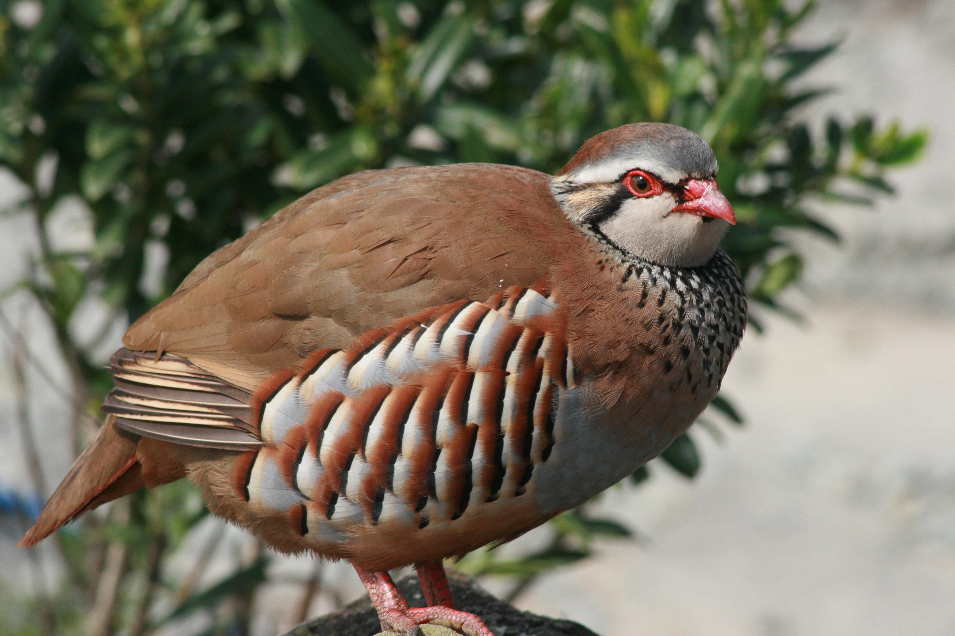Red-legged partridge | New Zealand Birds Online