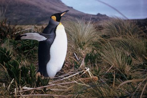 King penguin. Adult. Camp Cove, Campbell Island, October 1963. Image © Department of Conservation ( image ref: 10047297 ) by Department of Conservation. Courtesy of Department of Conservation