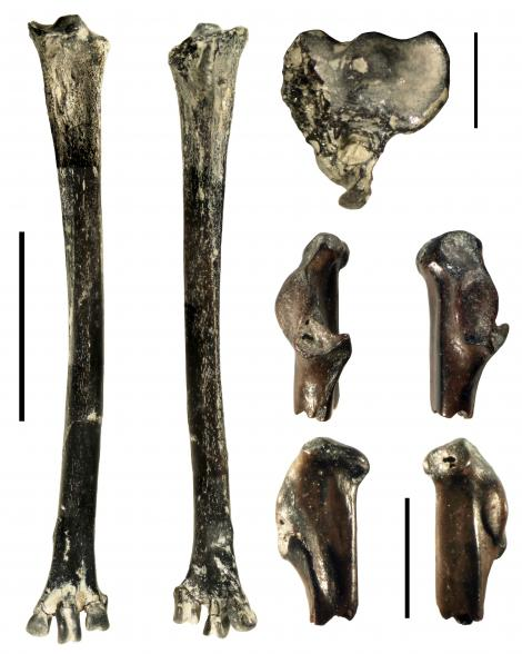 Bartle's bittern. Left and top right, holotype left tarsometatarsus, NMNZ S.53345. Lower right, four views of paratype part coracoid. Left scale bar 20 mm; right scale bars 5 mm. St Bathans. Image © Trevor Worthy by Trevor Worthy