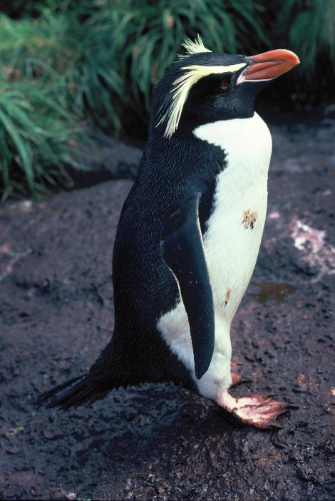 Snares crested penguin. Adult standing in profile. Station Point, The Snares, December 1986. Image © Alan Tennyson by Alan Tennyson Alan Tennyson