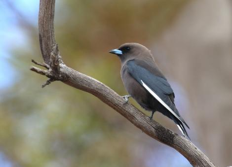 Dusky woodswallow. Adult. Winninowie Conservation Park, South Australia, October 2017. Image © John Fennell by John Fennell