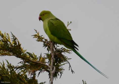 Rose-ringed parakeet. Adult female. Waitarere Beach, July 2016. Image © Peter Shearer by Peter Shearer