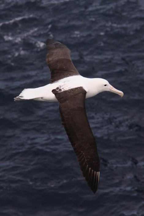 Northern royal albatross. Dorsal view of adult in flight. Forty Fours,  Chatham Islands, December 2009. Image © Mark Fraser by Mark Fraser
