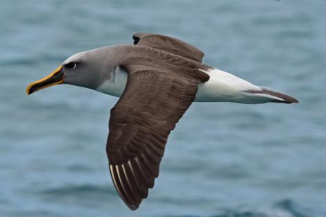 Buller's mollymawk. Side dorsal view of northern subspecies in flight. Kaikoura pelagic, May 2009. Image © Duncan Watson by Duncan Watson