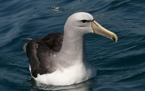 Salvin's mollymawk. Close view of adult on water. Kaikoura pelagic, January 2011. Image © Philip Griffin by Philip Griffin Philip Griffin © 2011
