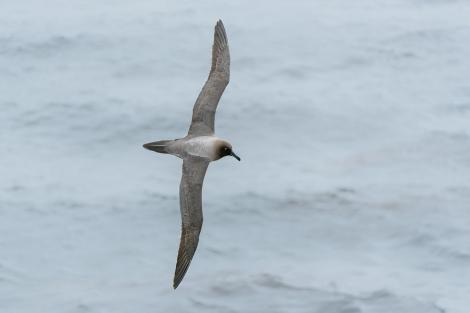 Light-mantled sooty albatross. Adult in flight showing light blue mandible stripe and eye crescent. Enderby Island,  Auckland Islands, January 2016. Image © Tony Whitehead by Tony Whitehead www.wildlight.co.nz