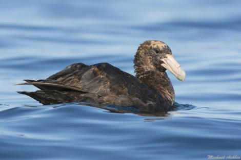 Southern giant petrel. Juvenile bird with sun bleaching. Kaikoura pelagic, April 2016. Image © Mike Ashbee by Mike Ashbee Courtesy of Mike Ashbee http://mikeashbee.smugmug.com