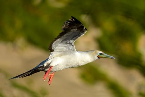 Red-footed booby. Adult in flight. Muriwai, January 2017. Image © Paul Kettel by Paul Kettel www.paulkettel.com