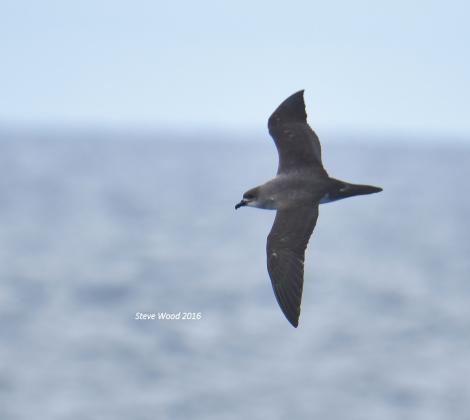 Herald petrel. Intermediate morph adult in flight (first New Zealand record). Herald Islets, Kermadec Islands, March 2016. Image © Steve Wood by Steve Wood