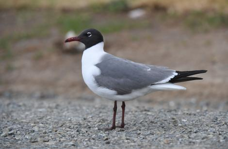 Laughing gull. Adult in breeding plumage. Hikuwai Beach, Opotiki, December 2017. Image © Les Feasey by Les Feasey