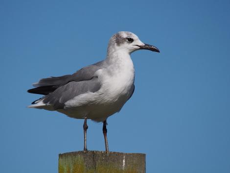 Laughing gull. Second-year bird (immature) - first New Zealand record. Opotiki Wharf, January 2017. Image © Thomas Musson by Thomas Musson